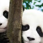 パンダはカワイイのか?